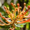 """Chilean Firebush • Notro o Ciruelillo (Embothrium coccineum) Fam. Proteaceae © Claudio F. Vidal, Far South Expeditions -  <a href=""""http://www.farsouthexpeditions.com"""">http://www.farsouthexpeditions.com</a>"""