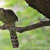Chilean Hawk, Accipiter chilensis