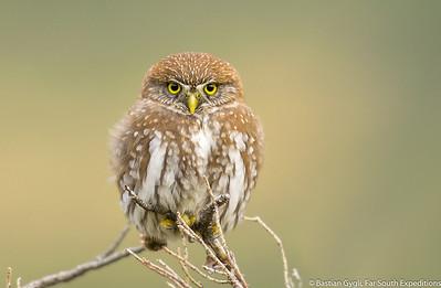 Austral Pigmy-Owl, Chuncho (Glaucidium nana)
