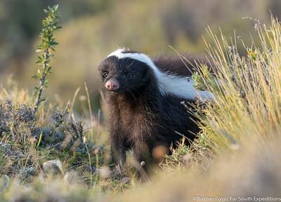 Patagonian Hog-nosed Skunk (Conepatus humboldti) © Bastian Gygli, Far South Exp