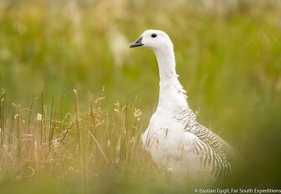 Upland Goose, Caiquén (Chloephaga picta)