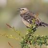 Patagonian Mockingbird, Mimus patagonicus