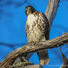Rufous-tailed Hawk, Buteo ventralis