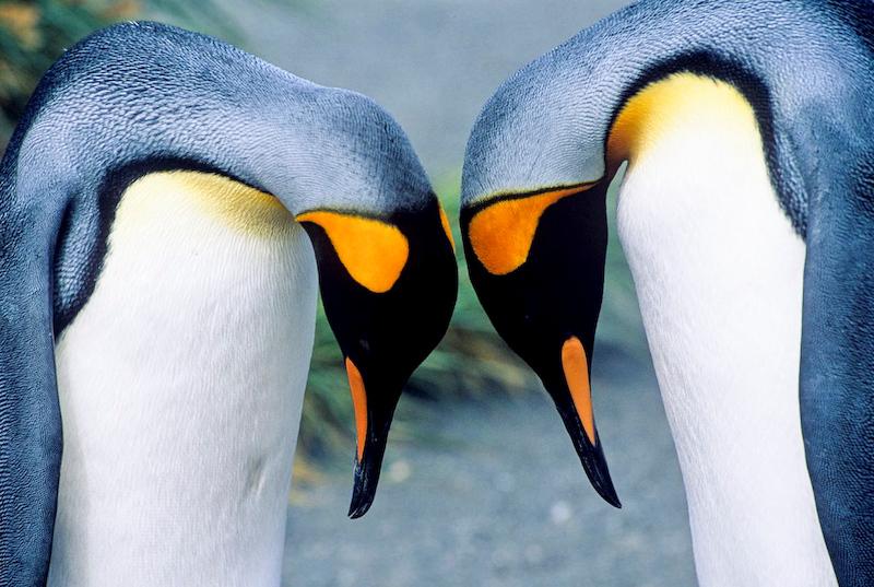 King Penguin, Aptenodytes patagonicus