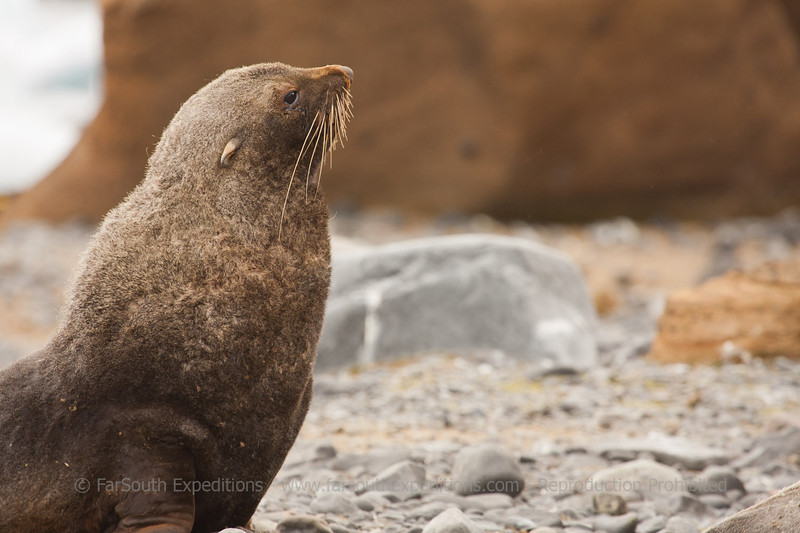 "Antarctic Fur Seal (Arctocephalus gazella), South Georgia © Claudio F. Vidal, FS Expeditions -  <a href=""http://www.fsexpeditions.com"">http://www.fsexpeditions.com</a>"