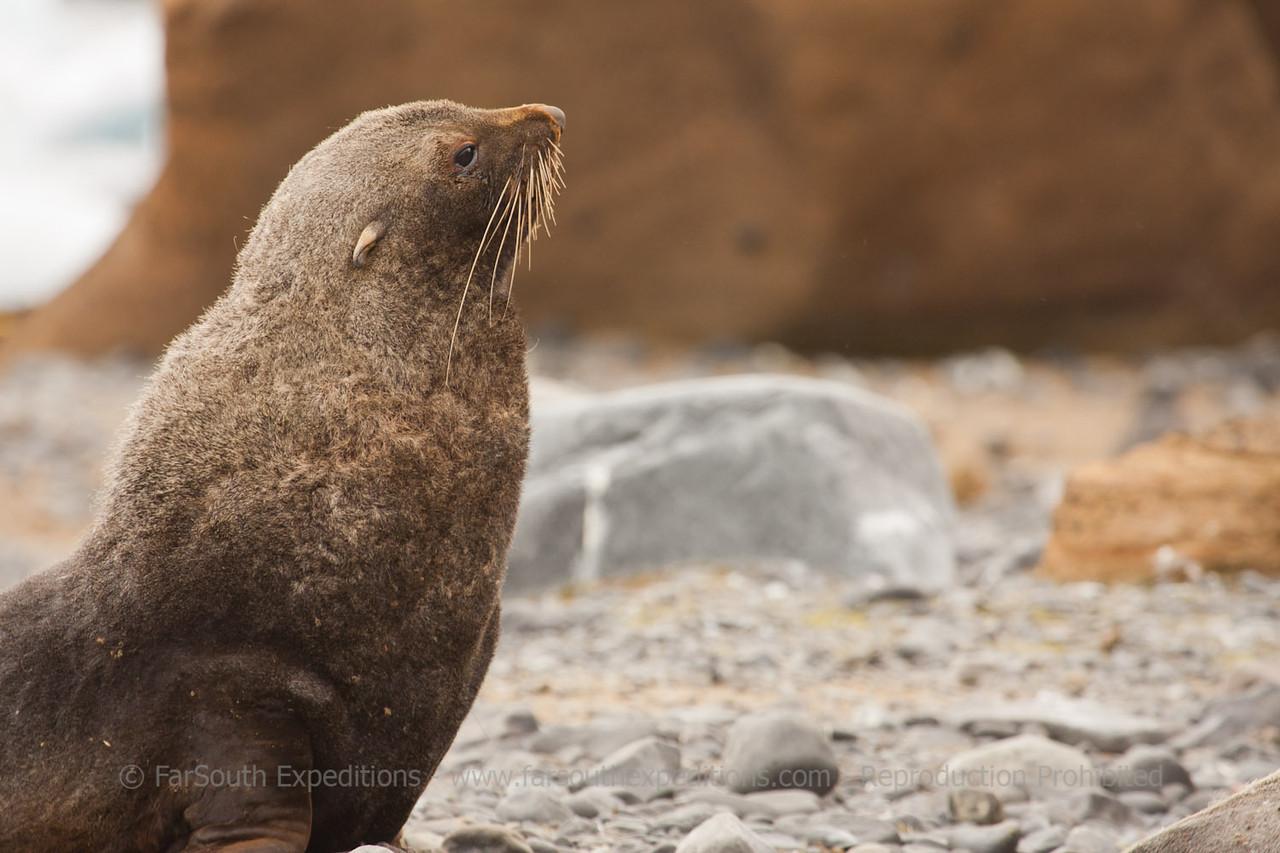 "Antarctic Fur Seal (Arctocephalus gazella), South Georgia © Claudio F. Vidal, FS Expeditions -  <a href=""http://www.fsexpeditions.com"">http://www.fsexpeditions.com</a>"