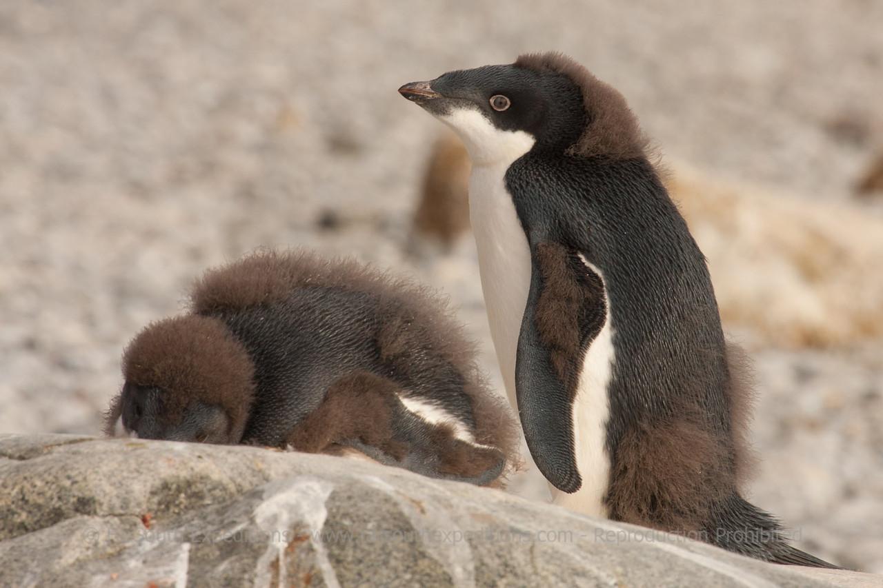 Adelie Penguin - Pygoscelis adeliae