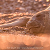 Southern Elephant Seal (Mirounga leonina), Punta Ninfas, Chubut, Argentina