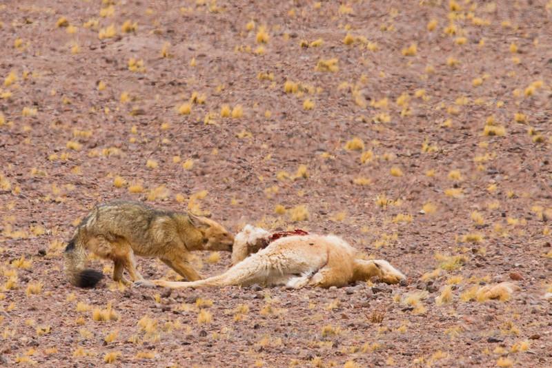 Culpeo Fox, Pseudalopex culpaeus eating on a Vicuña, Vicugna vicugna, Salar de Aguas Calientes / Talar, Atacama Desert, Chile
