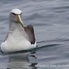 Salvin's Albatross | Albatross de Salvin | Thalassarche salvini, Pelagic off Valparaiso, Chile - Mar 2015
