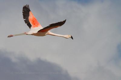Chilean Flamingo, Phoenicopterus chilensis