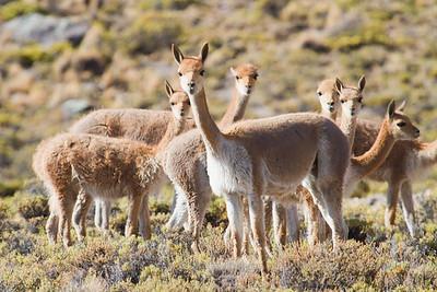 CHL005 Northern Chile Wildlife Adventure