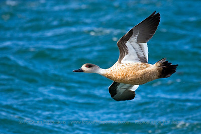 Crested Duck, Lophonetta specularioides