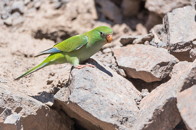 Mountain Parakeet, El Yeso, Santiago.