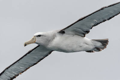 Salvin's Albatross, Pelágico Valparaíso.