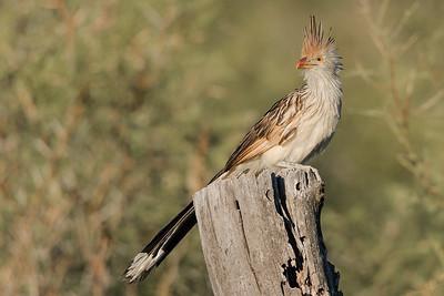 Guira Cuckoo, Mendoza.