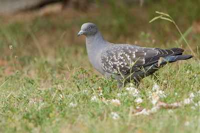 Spot winged Pigeon, Potrerillos, Mendoza.