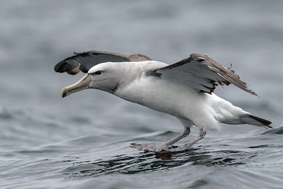Salvin´s Albatross, Pelágico Valparaíso.