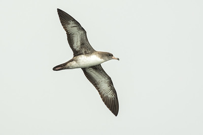 Pink Footed Shearwater, Valparaíso.