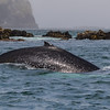 Humpback Whale (Megaptera novaengliae), Puñihuil, Chiloé