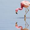 Andean Flamingo, Phoenicoparrus andinus