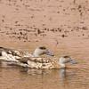 Crested Duck, Lophonetta specularioides alticola