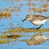 White-rumped Sandpiper • Playero de Lomo Blanco (Calidris fuscicollis), Tierra del Fuego, Chile © Claudio F. Vidal, Far South Expeditions