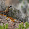 White-throated Tapaculo, Scelorchilus albicollis