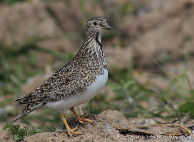 Least Seedsnipe, Thinocorus rumicivorus