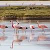 Chilean, Andean & Puna flamingos, Phoenicopterus chilensis, Phoenicoparrus andinus & P. jamesi