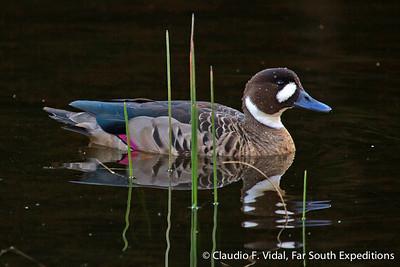 Spectacled Duck, Speculanas specularis