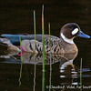 Spectacled Duck • Pato Anteojillo (Speculanas specularis), Patagonia, Chile © Claudio F. Vidal, Far South Expeditions