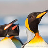King Penguin • Pingüino Rey (Aptenodytes patagonicus), Tierra del Fuego, Chile © Claudio F. Vidal, Far South Expeditions