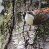 White-throated Treerunner, Pygarrhichas albogularis