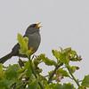 Slender-billed Finch, Xenospingus concolor