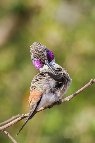 Oasis Hummingbird · Rhodopis vesper