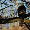 Chilean Hawk, Peuquito (Accipiter bicolor chilensis)