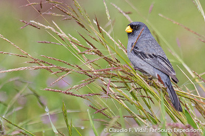 Band-tailed Seedeater, Semillero (Catamenia analis)