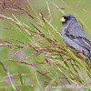 Band-tailed Seedeater, Catamenia analis