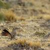 Band-tailed Earthcreeper, Ochetorhynchus phoenicurus
