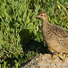 Chilean Tinamou, Nothoprocta perdicaria