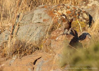 Moustached Turca, Pteroptochos megapodius
