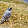 White-winged Diuca Finch, Diuca speculifera