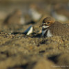 Two-banded Plover, Charadrius falklandicus
