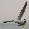 Band-tailed Gull, Larus belcheri