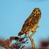 Short-eared Owl, Asio flammeus