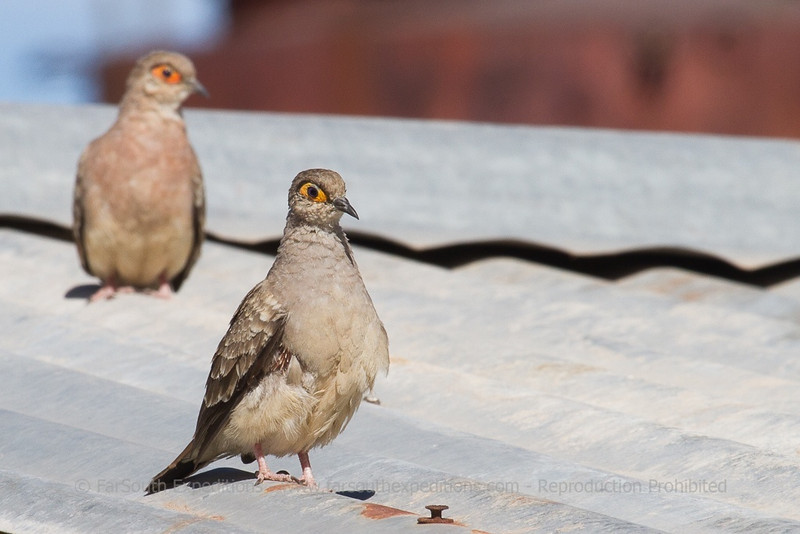 Bare-faced Ground Dove, Metriopelia ceciliae