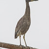 Yellow-crowned Night Heron, Nyctanassa violacea