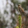 Chilean Mockingbird, Mimus thenca