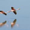 Puna Flamingo, Phoenicoparrus jamesi